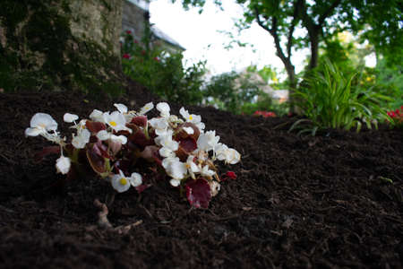 A Small Patch of White Flowers in Black Mulch on a Suburban Front Lawn