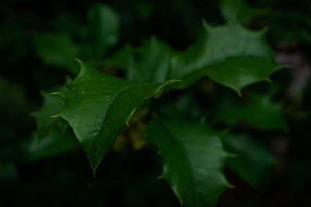 Dark Green Leaves With Sharp Thorns on a Tree 版權商用圖片