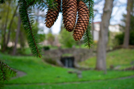 Large Pinecones Hanging From the Branch of a Pine Tree