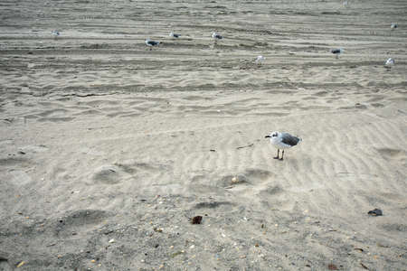 A Small Fluffy Seagull Standing on the Beach