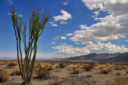 ocotillo: Ocotillo cactus in the desert with cloudy sky, in Joshua Tree National Park, California, USA