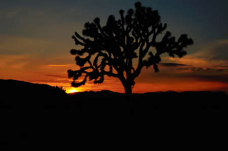 SIlhouette of a Joshua Tree at sunset, in Joshua Tree National Park, USA photo