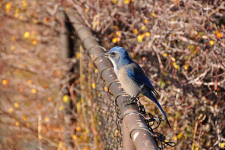 Western Scrub-Jay  Aphelocoma californica  on a fence photo