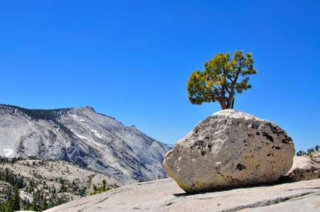 high sierra: Boulder and tree in at Olmsted point in Yosmite National Park, California, USA