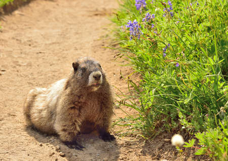 hoary: Big hoary marmot  Marmota caligata  and flowers in Mount Rainier National Park Stock Photo