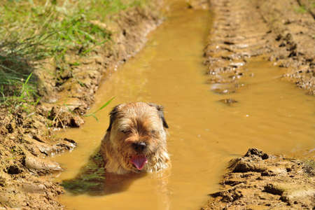 Tired dog (border terrier)  in a mud puddle photo