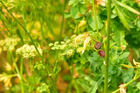lineatum: Two Italian Striped-Bug ( graphosoma lineatum) in  a garden