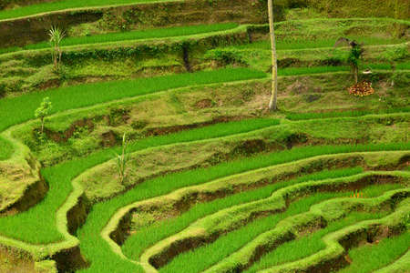 Details of a traditional rice paddy in Bali, Indonesia photo