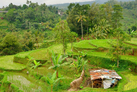 Famous Jatliluwih rice paddy and rundown cow shelter in Bali, Indonesia photo