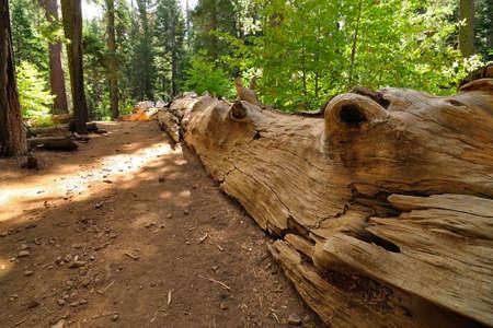 toter baum: Riesenmammutbaum tot in Tuolumne Hain in Yosmite National Park, Kalifornien, USA Lizenzfreie Bilder