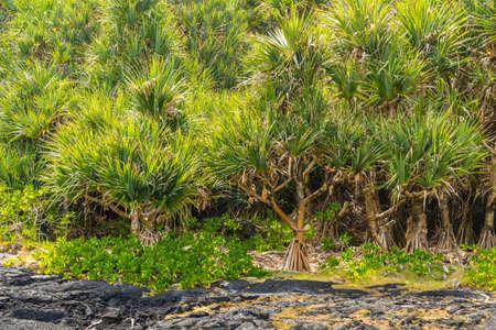 Forest of common screwpine (Pandanus utilis) and lava field, la Reunion island