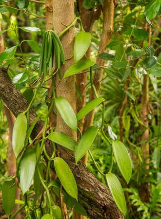 Planta de la vainilla y la vaina verde en el bosque Foto de archivo