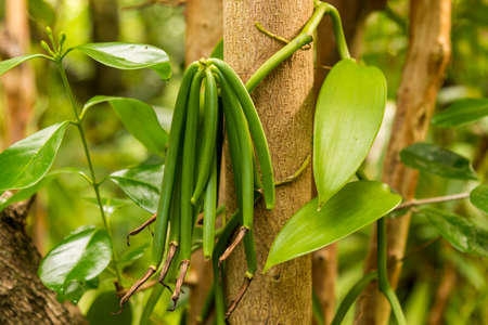 Vanilla plant and green pod in the forest