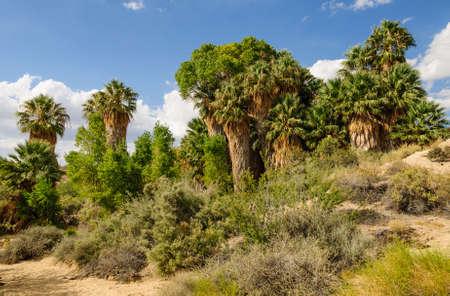 cottonwood tree: Cottonwood spring with palm trees in Joshua Tree National Park, California Stock Photo