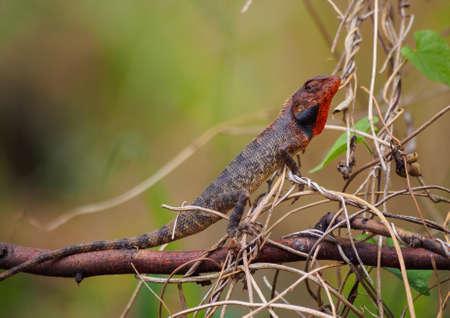 colouration: Agamid lizard (Calotes versicolor) with breeding coloration, la Reunion island Stock Photo
