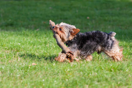 Small Yorkshire Terrier walks on the meadow and retrieves a large stick.