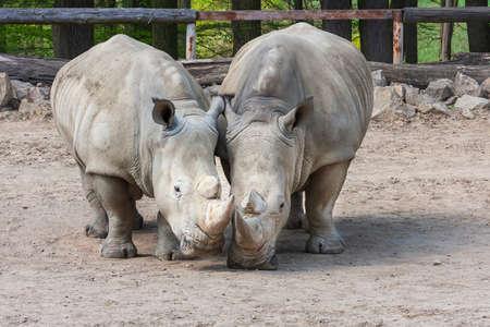 Rhinocerotidae - Rhinoceros resting in the paddock in the kennel.