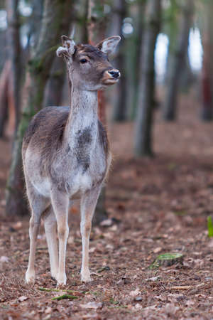 Dama dama - European Fallow Deer has beautiful antlers and lies in the setting sun in the woods among the trees