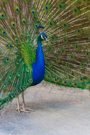 Portrait of Pavo cristatus - Peacock with outstretched tail