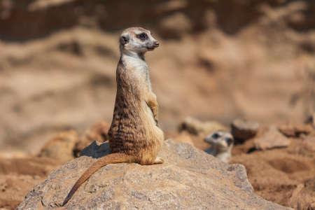 Meerkat - Suricata suricatta - in a group in the enclosure.