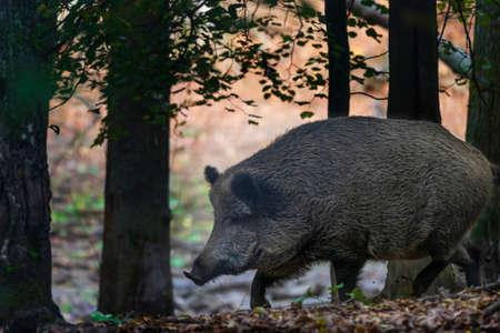 Sus scrofa - Le sanglier, qui se trouve dans la forêt profonde, est d'âges différents et cherche de la nourriture dans la forêt sombre.