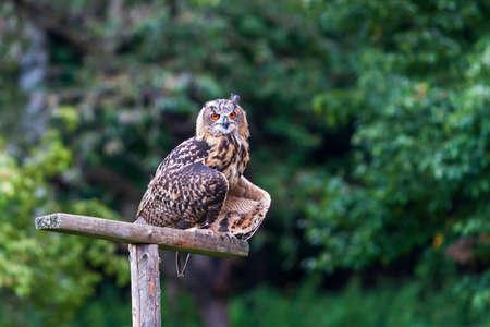 Eurasian Eagle Owl - Bubo bubo grand hibou avec fond de forêt brune