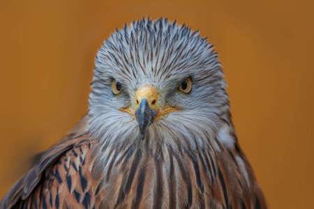 Red Kite - Milvus milvus portrait close-up on brown background