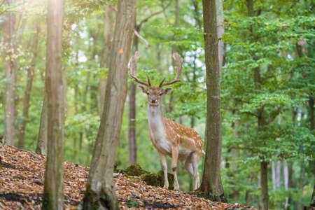 Fallow Deer - Dama dama stands among green trees. Wild foto.