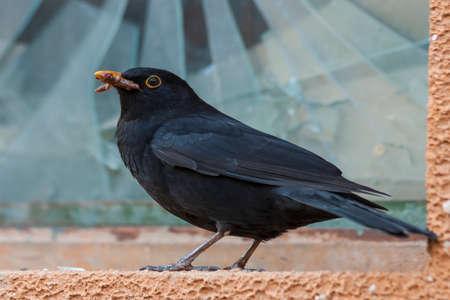 Black bird blackbird sitting at a broken window. It has an earthworm in its beak. Standard-Bild
