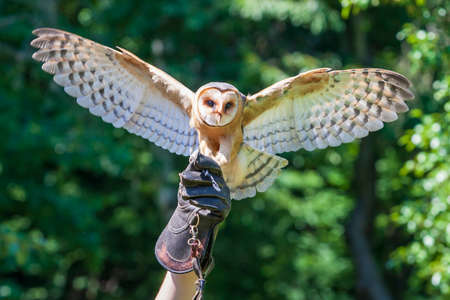 Falcon-led owl with spread wings sits on the gloved falconer. Background is green Archivio Fotografico