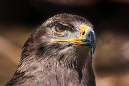 Portrait of Aquila nipalensis - Steppe Eagle on dark background Stock fotó