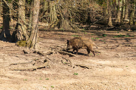 Wild boar - Sus scrofa - in the forest and by the water in its natural habitat. Photo of wild nature.