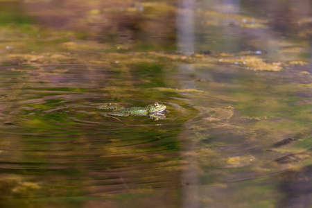 Bufo bufo - the toad is heated on the surface of the reservoir. There's a reflection in the water.