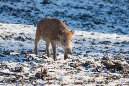 Young wild boar - Sus scrofa on a snowy field.