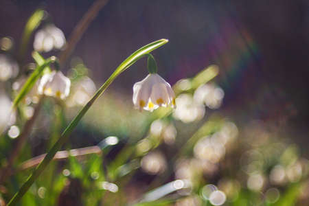 Snowflake - Leucojum aestivum - beautiful white flower on meadow in valley. Photo has beautiful bokeh. Stock Photo