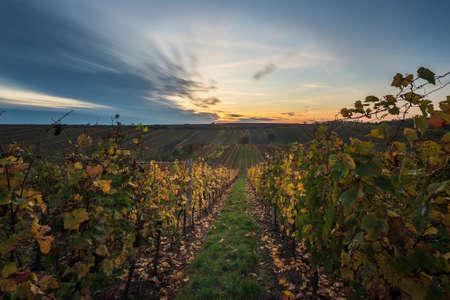 Beautiful landscape of colorful autumn vineyards in Czech Republic near Cejkovice village. Blue sky with long time technique.