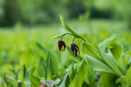Cypripedium calceolus - Slipper Slipper - beautiful yellow flower in cabbage grass. Photo of wild nature.