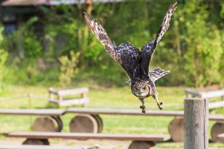 African eagle owl - Bubo africanus - falconry guided on a green field in sunny weather.