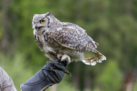 The barn owl - Bubo virginianus - falconry-headed sits on the hands of a falconer with a glove on his hand.