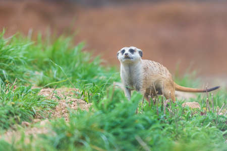 Meerkat - Suricata suricatta in a group in its natural habitat plays in a group. Wild photo with nice bokeh. Stock Photo