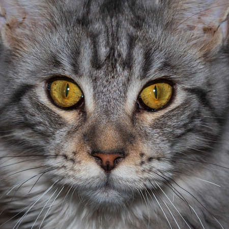 Maine coon cat - Felis catus - portrait of a young kitten on a dark background.