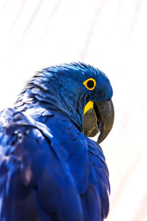 Hyacinth Macaw - Anodorhynchus hyacinthinus - beautiful large blue parrot with a large curved beak.