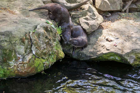 Small otter - Amblonyx Cinerea in its natural habitat in nature. The otter bathes in water.