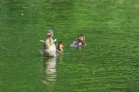 The little duck swims on the water and flutters its wings. Archivio Fotografico