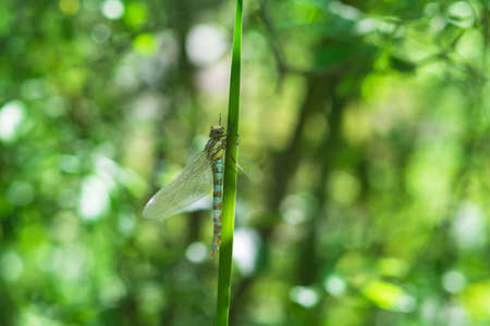 The dragonfly on a blade of dry grass has retracted wings. The background is blurred by the photo technique and has a nice bokeh. 版權商用圖片