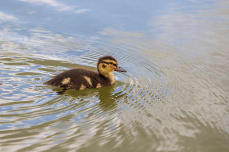 Beautiful little duck cub swims in the water of the pond. Its image is reflected in the water of the pond. He has drops of water on his head.