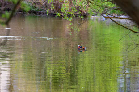 Aix galericulata - Mandarin duck - floats on water and its color is reflected in the water.
