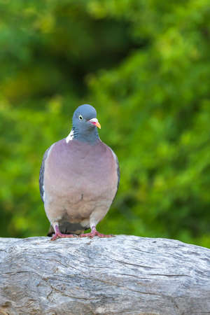 Pigeon sitting on a wooden log. The photo has a green background. Standard-Bild