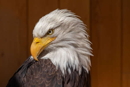 The bald eagle has a turned head and the background is dark brown. Stockfoto