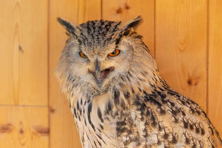Portrait of a Great West Siberian Eagle Owl. He has an open beak and eyes.